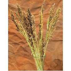 Dried Broom Corn - Decorative Red