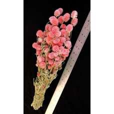Dried Globe Amaranth - Hot Pink