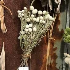 Dried Silver Brunia Natural