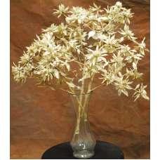 Dried Star Flower Thistle