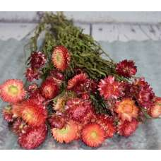 Dried StrawFlowers - Apricot - Straw Flower