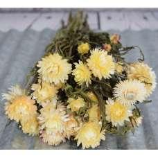 Dried StrawFlowers - Blush -  Straw Flower