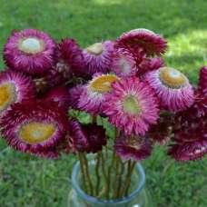 Dried StrawFlowers - Rose - Straw Flower
