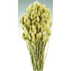 Dried Phalaris Grass
