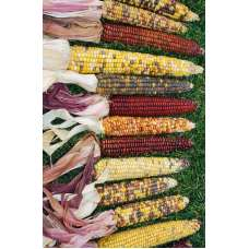 Decorative Indian Corn - Large