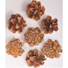 Pinyon Pine Cones
