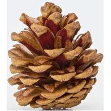 Red Pine Cones - Natural Red Cones