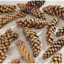 Strobus Natural Pine Cones - White Pine Cones