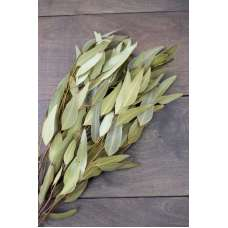 Natural Willow Eucalyptus - Light Green