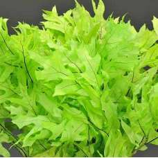 Preserved Green (Chartreuse) Oak Leaves (1 LB dried leaves)