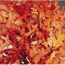 Preserved Rust Oak Leaves Case