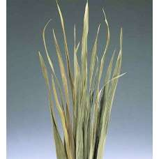 Dried Sabel Palm