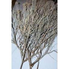 Sagebrush Plant