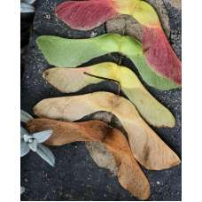 Maple Seed Pods,  Maple Helicopters / Whirlybirds